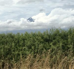 Endlich zeigt er sich der Mt. Taranaki