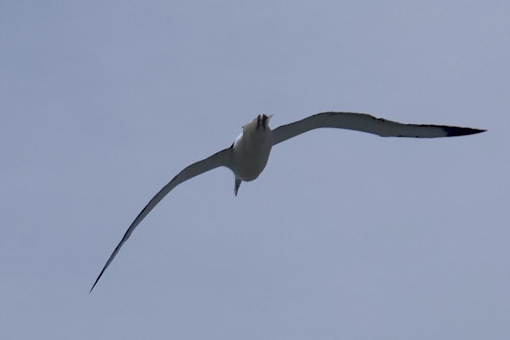 Königsalbatross im Flug