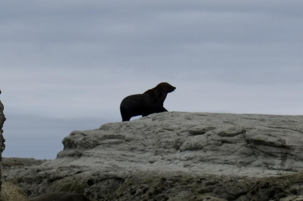 Seehund auf dem Felsen