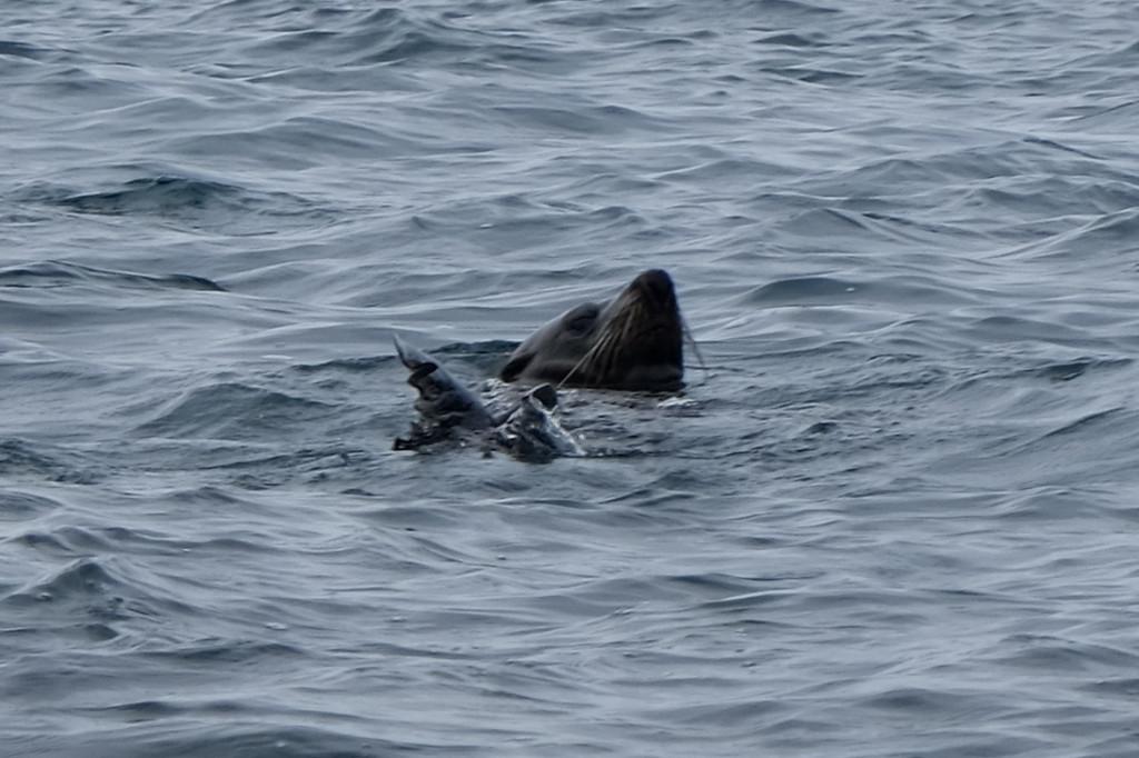 Schwimmender Seehund