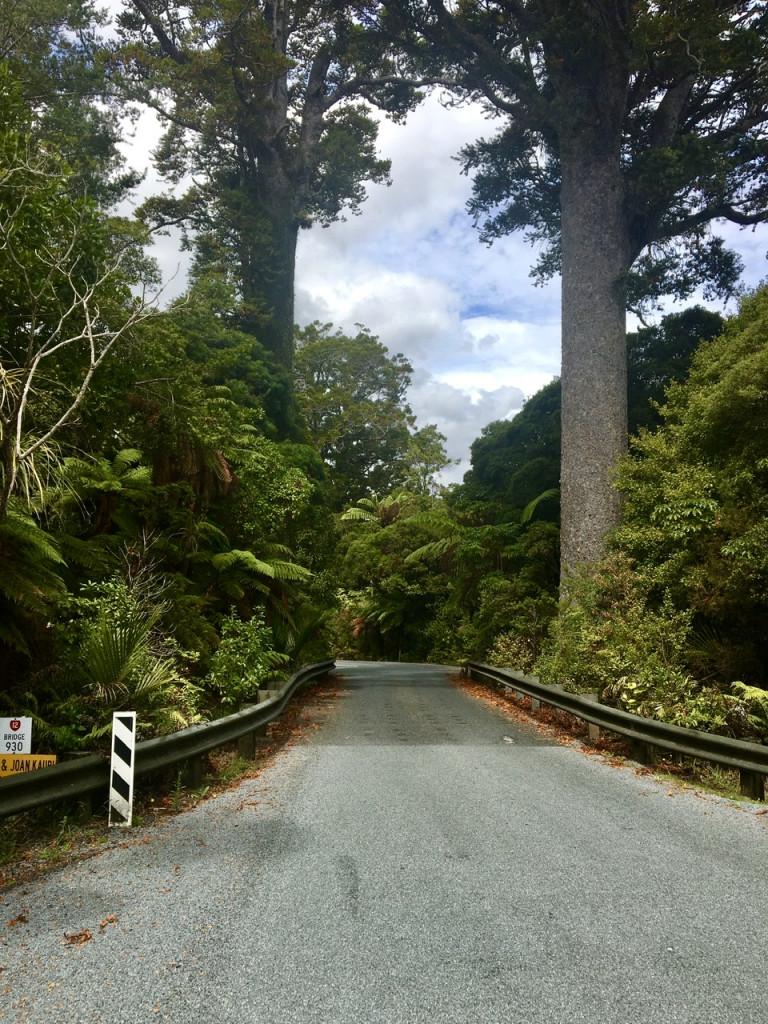 Engpass im Waipoua Forest