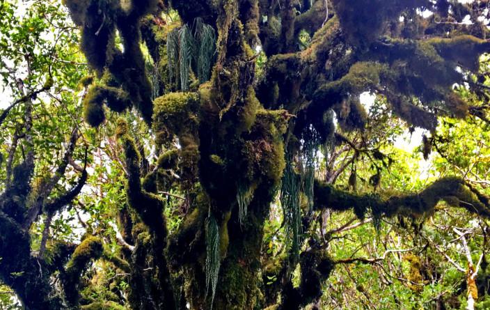 Moos bewachsener Baum am Mt. Taranaki
