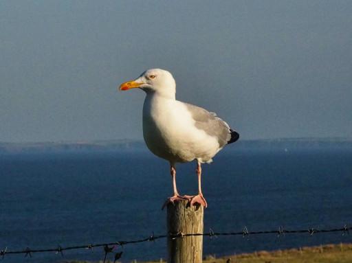 Zaungast am CP an der Caerfai Bay