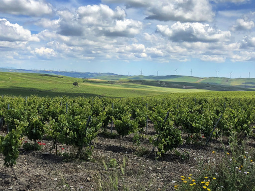 Weinstöcke ohne Ende für den Marsala-Wein