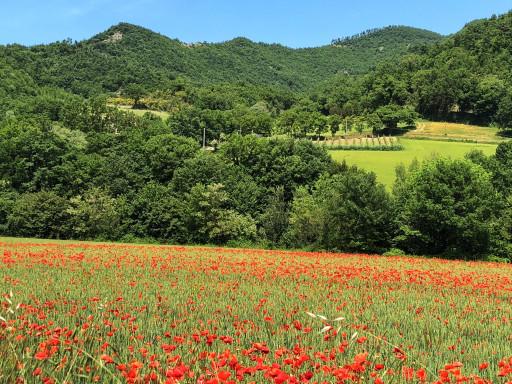 Mohnfeld bei Borgo Pace
