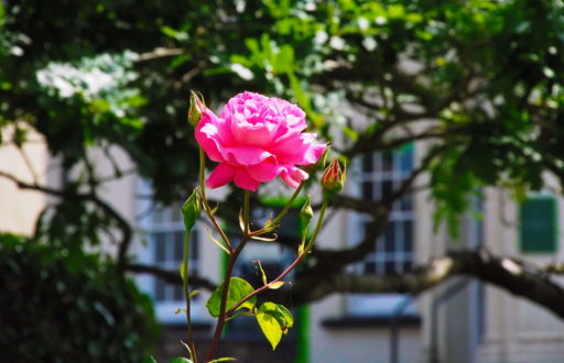 Rose bei der Kathedrale von St Davids in Wales